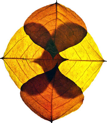 Photograph - Leaves Nine  by Ken Frischkorn