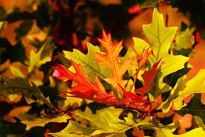 Photograph - Leaves Of Fall by Roena King