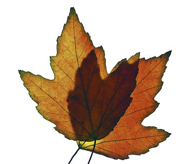 Photograph - Leaves One  by Ken Frischkorn