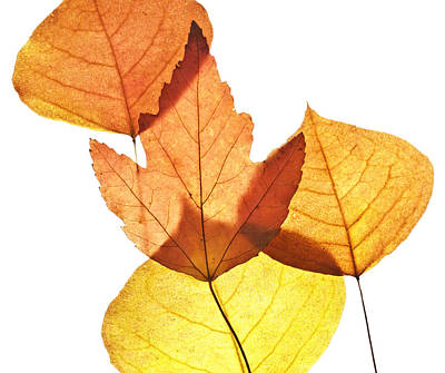 Photograph - Leaves Thirty   by Ken Frischkorn