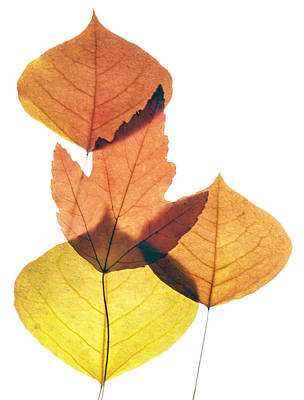 Photograph - Leaves Thirty-one by Ken Frischkorn