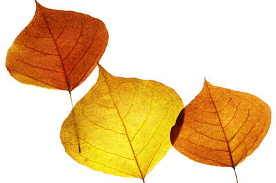 Photograph - Leaves Thirty-two by Ken Frischkorn