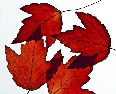 Photograph - Leaves Three  by Ken Frischkorn
