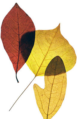 Photograph - Leaves Twelve  by Ken Frischkorn