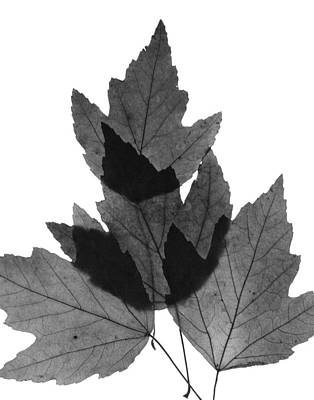Photograph - Leaves Twenty-nine by Ken Frischkorn