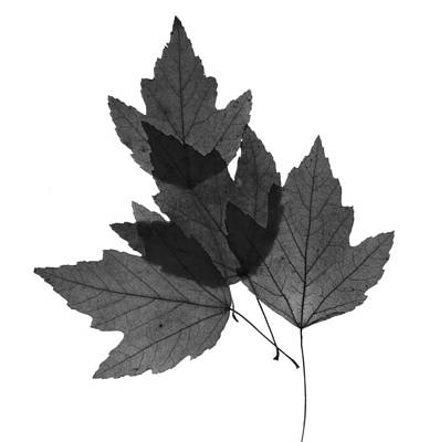 Photograph - Leaves Twenty-six  by Ken Frischkorn