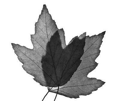 Photograph - Leaves Two  by Ken Frischkorn