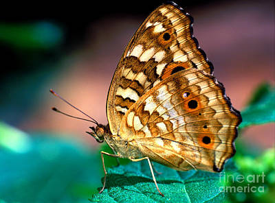 Photograph - Lemon Pansy Butterfly by Terry Elniski
