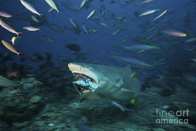 Photograph - Lemon Shark Chomps Down On A Large Tuna by Terry Moore