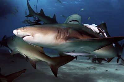 World Schooling Photograph - Lemon Shark Pack by Greg Amptman