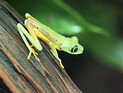 Photograph - Lemur Frog by Katherine White