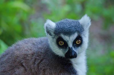Photograph - Lemur by Harry Strharsky