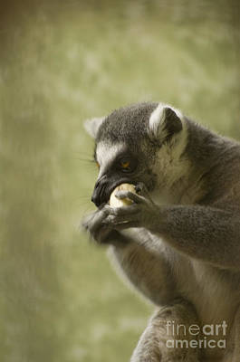 Photograph - Lemur by Heather Applegate