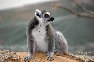 Photograph - Lemur by Living Color Photography Lorraine Lynch