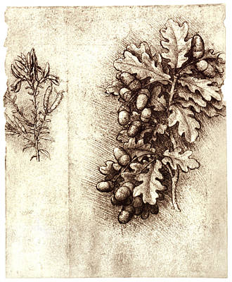 Dyer Photograph - Leonardo Da Vinci's Oak Leaves And Acorns by Sheila Terry