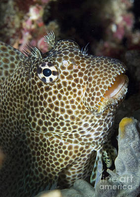 Leopard Blenny Perched On Coral, Papua Art Print by Steve Jones