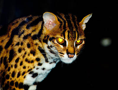 Photograph - Leopard Cat by Chua  ChinLeng