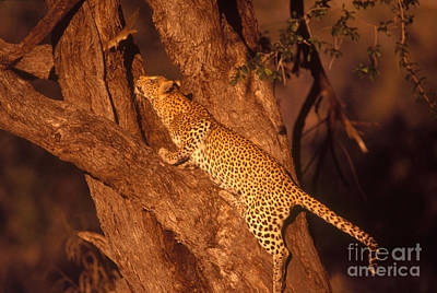 Photograph - Leopard Chasing Tree Squirrel by Gregory G. Dimijian