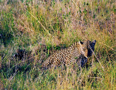Photograph - Leopard Hunting by Belinda Greb