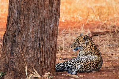 Photograph - Leopard by Michel Legare