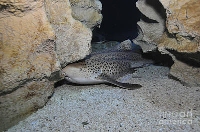 Photograph - Leopard Shark, Blue Zoo Aquarium by Mathieu Meur