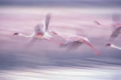 Photograph - Lesser Flamingo Phoenicopterus Minor by Gerry Ellis