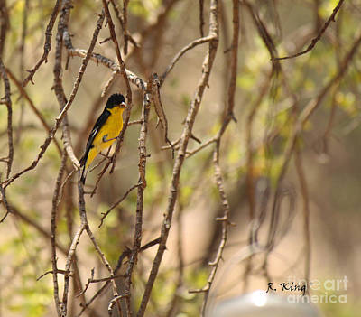 Photograph - Lesser Goldfinch Male On A Twig by Roena King