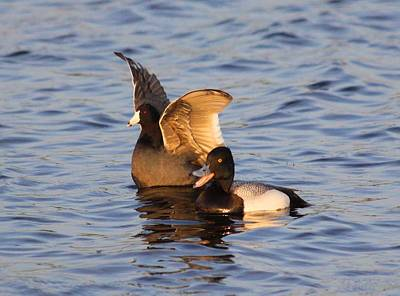 Photograph - Lesser Scaup And American Coot Being Pals by Jeanne Andrews
