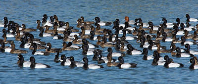 Lesser Scaup Photograph - Lesser Scaup Aythya Affinis Flock by Tom Vezo