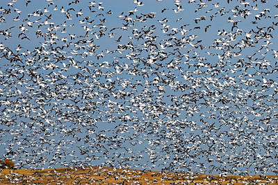 Photograph - Lesser Snow Geese Migration by Tony Beck