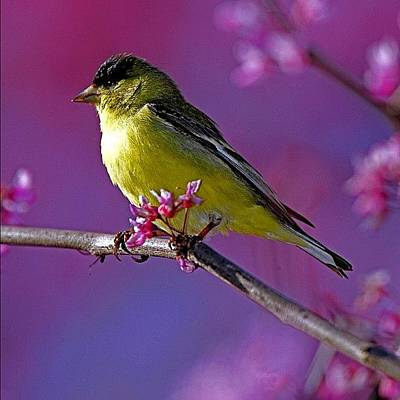 Finch Wall Art - Photograph - #lessergoldfinch #finch #nature #yellow by Raul Roa