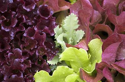 Lettuce Photograph - Lettuce And Poppy Seedling by Maria Mosolova