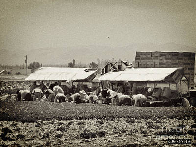 Photograph - Lettuce Harvest by Methune Hively