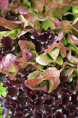Lettuce Photograph - Lettuce (lactuca Sp.) by Maria Mosolova