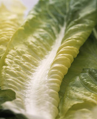 Romaine Photograph - Lettuce Leaf by Sheila Terry