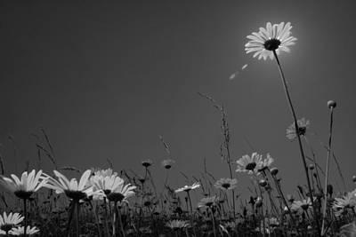 Photograph - Leucanthemum by Octavian Chende