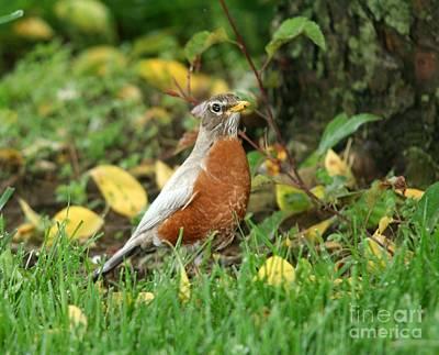 Photograph - Leucistic Amerian Robin by Jack R Brock