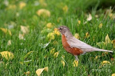 Photograph - Leucistic American Robin by Jack R Brock