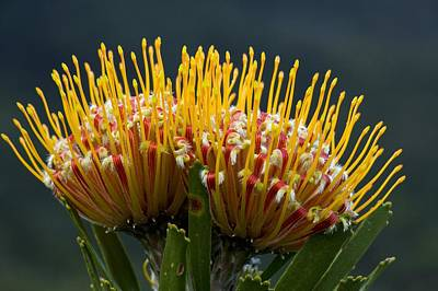 Pincushion Flower Photograph - Leucospermum Erubescens Flowers by Bob Gibbons