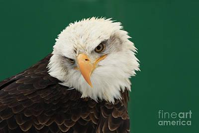Liberty- American Bald Eagle Art Print