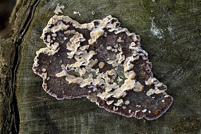 Crustose Photograph - Lichen On A Tree by Dirk Wiersma