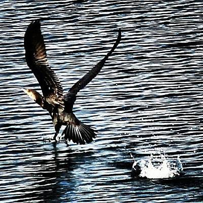 Nature_shooters Photograph - Lift Off #thebestshooter #instaanimals by Chris Barber