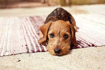 One Dog Photograph - Light Brown Dachshund Puppy by Håkan Dahlström