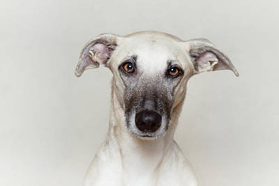 Of Dogs Photograph - Light Brown/fawn Dog Looking Right Into The Camera by Elke Vogelsang