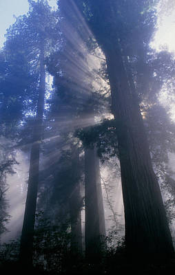 Light Coming Through Redwood Trees. Art Print by Kaj R. Svensson