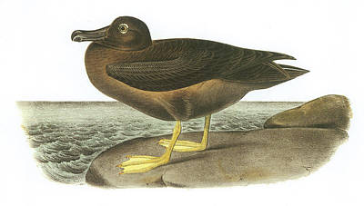 Albatross Painting - Light-mantled Sooty Albatross by John James Audubon