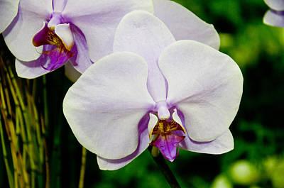 Photograph - Light Purple Phalaenopsis by Chua  ChinLeng