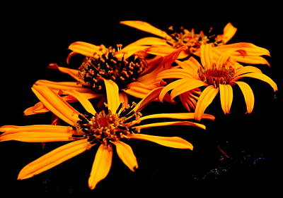 Daisies Photograph - Ligularia Flowers by Tanya  Searcy