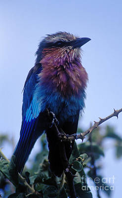 Photograph - Lilac Breasted Roller - Tanzania by Craig Lovell