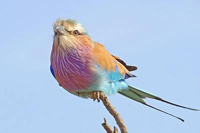 Somalia Photograph - Lilac-breasted Roller (coracias Caudata) by Arno Meintjes Wildlife